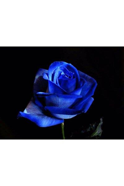5 Adet Gece Mavisi Gül Tohumu