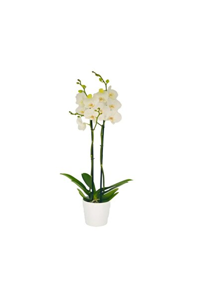 Çift Dal Beyaz Orkide Çiçeği