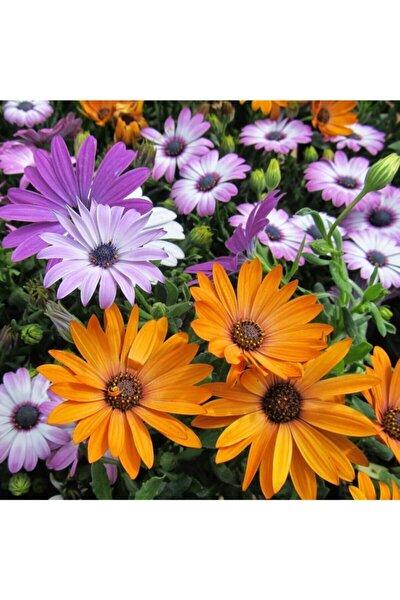 15-20 Adet Bodrum Papatyası Çiçeği Tohumu