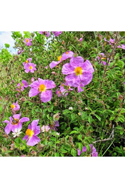 Tüplü Şifalı Eflatun Laden Çiçeği Karağan (Cistus Creticus) Fidanı