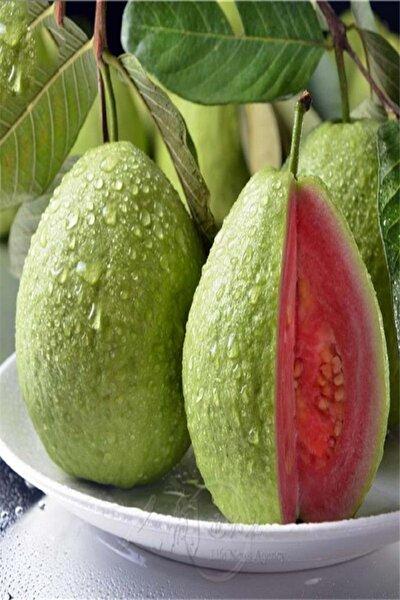 Tüplü Kırmızı Guava Fidanı