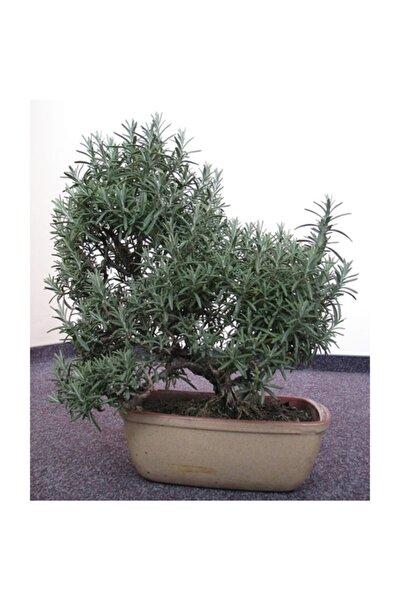 Biberiye Bonsai Ağacı 10 Tohum(Saksı Toprak Seti)