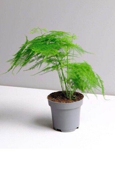 Asparagus Setaceus - Kuşkonmaz Mini - Ev Ofis Salon Iç Mekan Bitkisi - 20 cm