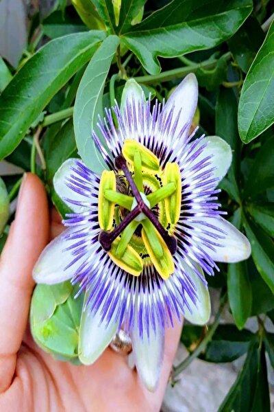 Tüplü Mavi Çiçek Açan Passiflora Çarkıfelek Sarmaşığı Fidanı
