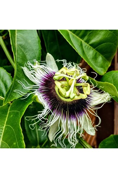 Tüplü Çarkıfelek Pasiflora Edulis Maruçya Fidanı