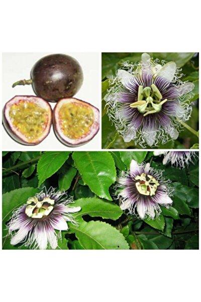 Tüplü Passiflora Edulis (passion Fruit) (aşk Meyvesi)