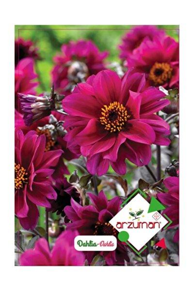 Dahlia Çiçeği Tohumu 30 Adet