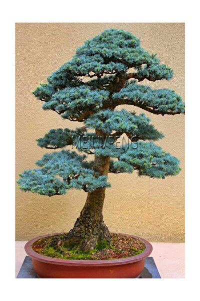 Bodur Mavi Selvi Bonzai Ağacı Tohumu 5 Adet Bonsai Ağacı Tohumu