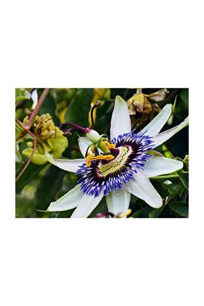 Passiflora Tohumu 3 Adet Tohum Pasiflora Saat Çiçeği