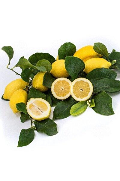 Iri Meyveli Uzun Zagara Bianca Limon Fidanı