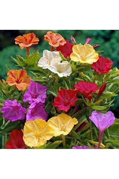 Akşam Sefası Çiçeği Tohumu (15-20 Adet)