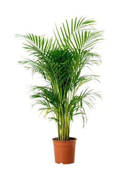Areka Palmiyesi 100 Cm