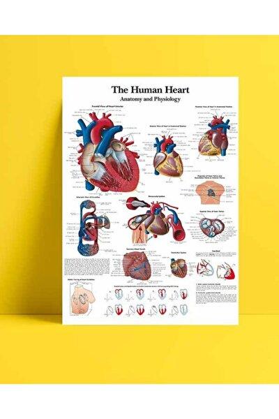 Insan Kalbi Anatomisi Ve Fizyolojisi Kuşe Kağıt
