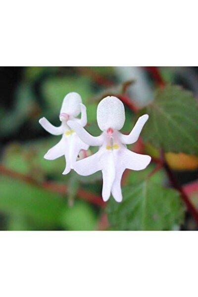 Nadir İthal Beyaz Melek Orkide Çiçeği Tohumu Ekim Seti 5 Tohum Saksı Toprak Kombin
