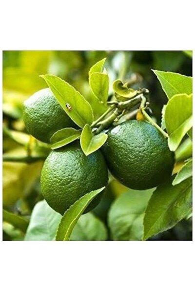 Tüplü Aşılı Lime Tahiti Limon Fidanı - 2 Yaş (100-120 Cm)