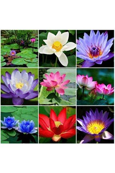 3 Adet 3 Renk Lotus Çiçeği (nilüfer) Tohumu