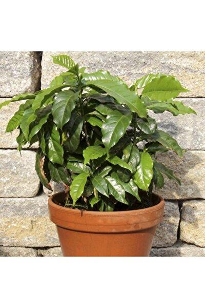 10 Adet Saksılık Kahve Ağacı Tohumu
