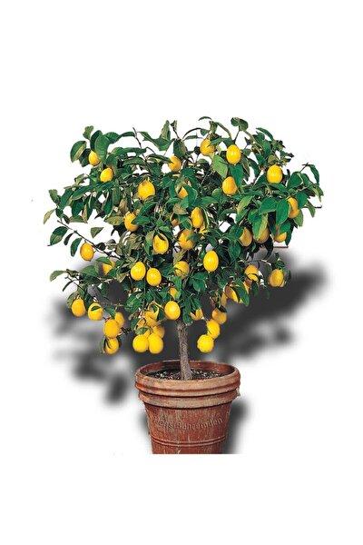 Limon Ağacı Fidanı Saksılı Bodur Yediveren Mayer