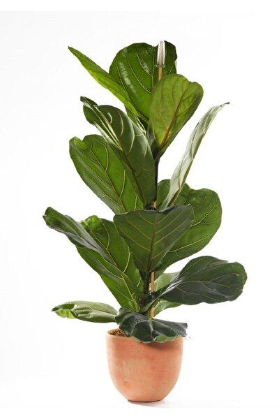 Berceste Peyzaj Ficus Lyrata Keman Yapraklı Kauçuk Bitkisi Ev Bitkisi Ofis Bitkisi Salon Bitkisi