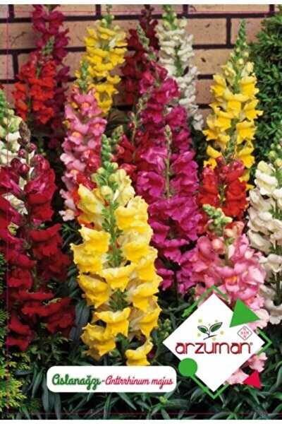 Süs Bitki Aslan Ağzı Çiçek Tohumu