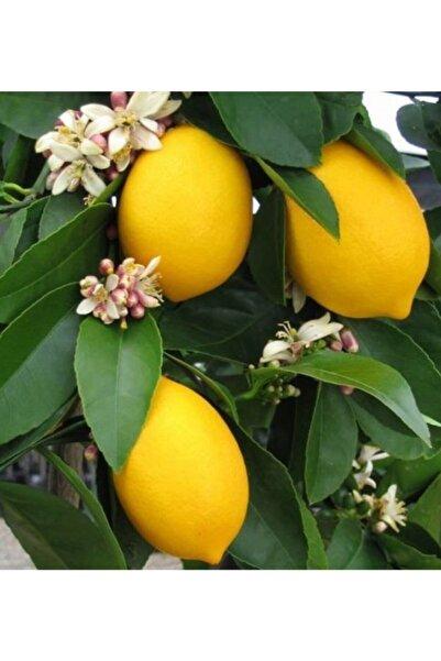 Mayer Limon Fidanı Çiçekli Bodur Limon Fidan 2-3 Yaş (Saksı Için Bodur Fidan )