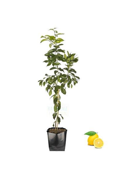 Yediveren Limon Fidanı Tüplü