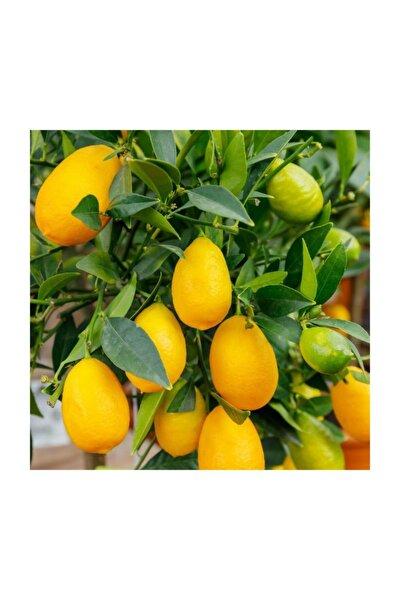 Citrus Hybrid Limequat Meksika Misket Limon Fidanı, 80-100 Cm, Saksıda