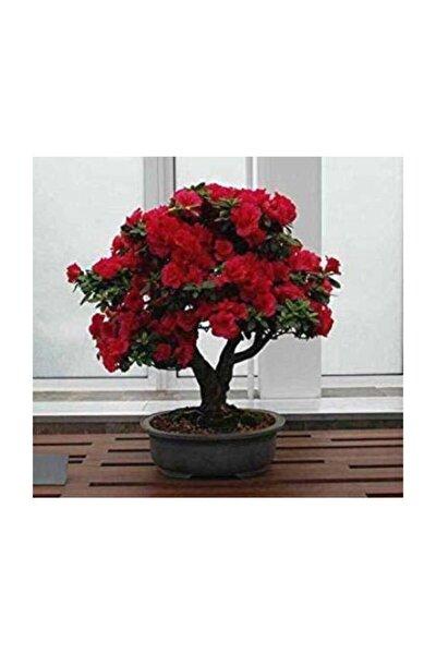 Bodur Kırmızı Gül Bonzai Ağacı Tohumu 5 Adet Tohum Bonsai Ağacı Tohumu
