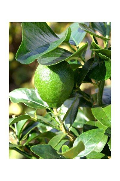 Narenciye Lime Misket Limonu Fidanı +100 cm Saksıda