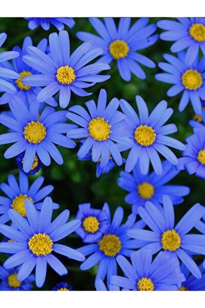 +10 Adet Mavi Papatya Çiçeği Tohumu